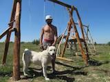 Собаки, щенята Середньоазіатська вівчарка, ціна 24 Грн., Фото