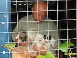 Собаки, щенки Западно-Сибирская лайка, цена 1500 Грн., Фото