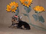 Собаки, щенки Йоркширский терьер, цена 9000 Грн., Фото