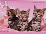 Кошки, котята Бенгальская, цена 12000 Грн., Фото