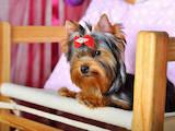 Собаки, щенята Йоркширський тер'єр, ціна 7800 Грн., Фото
