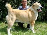 Собаки, щенята Середньоазіатська вівчарка, ціна 15000 Грн., Фото