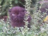 Кошки, котята Британская короткошерстная, цена 500 Грн., Фото