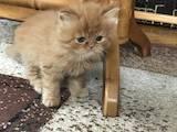 Кішки, кошенята Персидська, ціна 1100 Грн., Фото