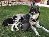 Собаки, щенки Сибирский хаски, цена 3208 Грн., Фото