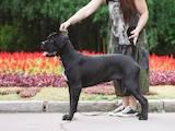 Собаки, щенята Кане Корсо, ціна 12000 Грн., Фото