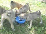 Собаки, щенки Сибирский хаски, цена 800 Грн., Фото