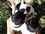 Собаки, щенята Жорсткошерстий фокстер'єр, ціна 1500 Грн., Фото