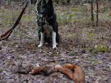 Собаки, щенята Російсько-Європейська лайка, ціна 1500 Грн., Фото