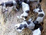 Собаки, щенята Німецька жорсткошерста лягава, ціна 5000 Грн., Фото