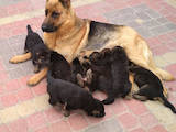 Собаки, щенята Німецька вівчарка, ціна 5500 Грн., Фото
