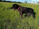 Собаки, щенята Німецька жорсткошерста лягава, ціна 9000 Грн., Фото