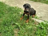 Собаки, щенки Доберман, цена 2200 Грн., Фото