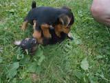 Собаки, щенки Ягдтерьер, цена 500 Грн., Фото