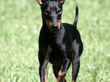 Собаки, щенята Російський гладкошерстий тойтерьер, ціна 7400 Грн., Фото