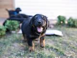 Собаки, щенята Ховаварт, ціна 26000 Грн., Фото