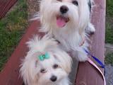 Собаки, щенки Мальтийская болонка, цена 7000 Грн., Фото