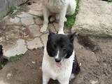Собаки, щенки Среднеазиатская овчарка, цена 50 Грн., Фото