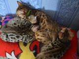 Кішки, кошенята Бенгальськая, ціна 10000 Грн., Фото