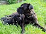 Собаки, щенки Кане Корсо, цена 5500 Грн., Фото