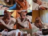 Кішки, кошенята Донський сфінкс, ціна 5000 Грн., Фото