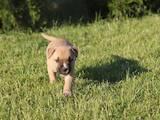 Собаки, щенки Американский стаффордширский терьер, цена 16000 Грн., Фото