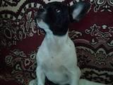 Собаки, щенята Французький бульдог, ціна 5000 Грн., Фото