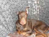Собаки, щенята Доберман, ціна 20800 Грн., Фото