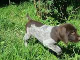 Собаки, щенята Німецька жорсткошерста лягава, ціна 7800 Грн., Фото