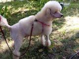 Собаки, щенки Карликовый пудель, цена 3600 Грн., Фото