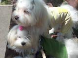 Собаки, щенята Мальтійська болонка, ціна 7000 Грн., Фото