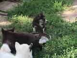Собаки, щенки Западно-Сибирская лайка, цена 600 Грн., Фото
