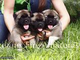 Собаки, щенята Американський акіта, ціна 38000 Грн., Фото
