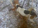 Собаки, щенята Естонський гончак, ціна 2500 Грн., Фото