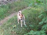 Собаки, щенки Западно-Сибирская лайка, цена 2400 Грн., Фото