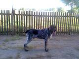 Собаки, щенки Немецкая жесткошерстная легавая, цена 150 Грн., Фото