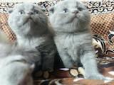 Кошки, котята Шотландская вислоухая, цена 2000 Грн., Фото
