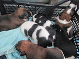 Собаки, щенята Гладкошерста фокстер'єр, ціна 900 Грн., Фото