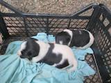 Собаки, щенки Гладкошерстный фокстерьер, цена 900 Грн., Фото