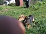 Собаки, щенки Ягдтерьер, цена 2600 Грн., Фото