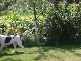 Собаки, щенята Естонський гончак, ціна 5200 Грн., Фото