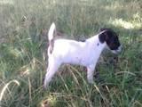 Собаки, щенята Гладкошерста фокстер'єр, ціна 4000 Грн., Фото