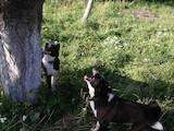 Собаки, щенята Російсько-Європейська лайка, ціна 15000 Грн., Фото