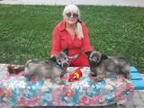 Собаки, щенята Невідома порода, ціна 15000 Грн., Фото