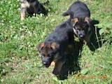 Собаки, щенки Немецкая овчарка, цена 4500 Грн., Фото