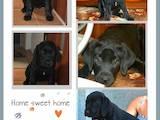 Собаки, щенята Лабрадор ретрівер, ціна 3800 Грн., Фото
