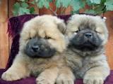 Собаки, щенята Чау-чау, ціна 9000 Грн., Фото