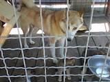 Собаки, щенята Західно-Сибірська лайка, ціна 1500 Грн., Фото