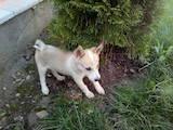 Собаки, щенята Східно-сибірська лайка, ціна 600 Грн., Фото