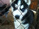 Собаки, щенки Сибирский хаски, цена 4500 Грн., Фото